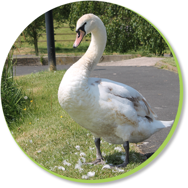 A photograph of a white swan